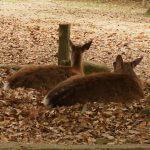 奈良公園にはなぜ鹿がたくさんにいる?その理由とは?【神話と古事記】